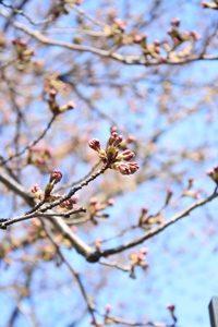桜3ブログ