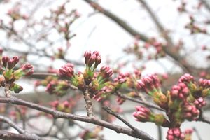 20180329桜の蕾