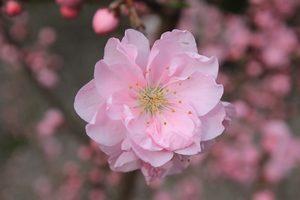 桃の花1   20180410 ブログ