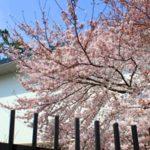 美術館桜②2018  ブログ
