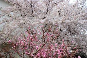 桃の花220180410ブログ