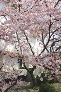 美術館桜①2018 - ブログ用