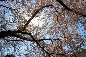 美術館桜③2018  ブログ