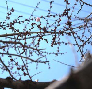 梅の開花20190315